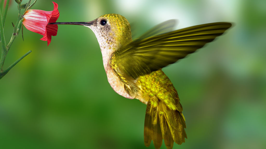 0SLH-Kolibri_W